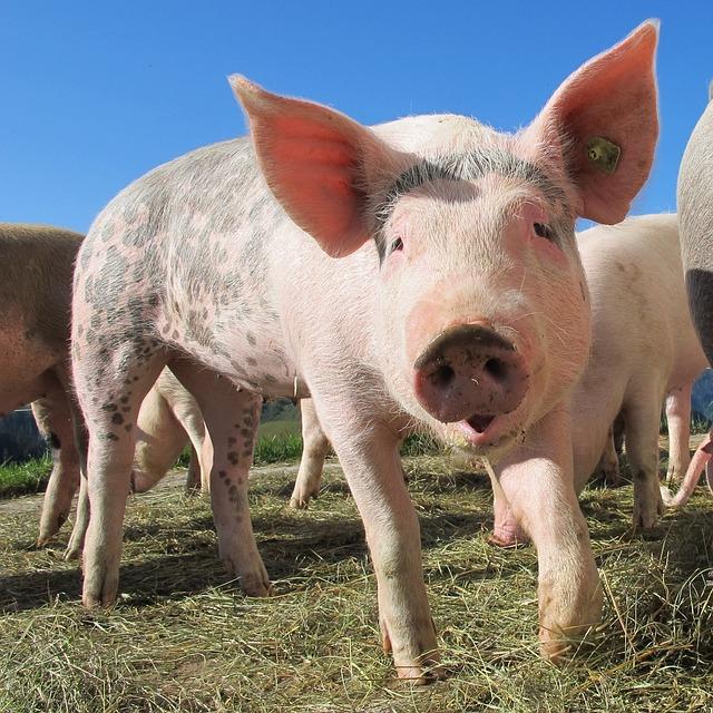 Pig, Alp Rona, Furna, Sow, Happy Pig, Animals, Nature