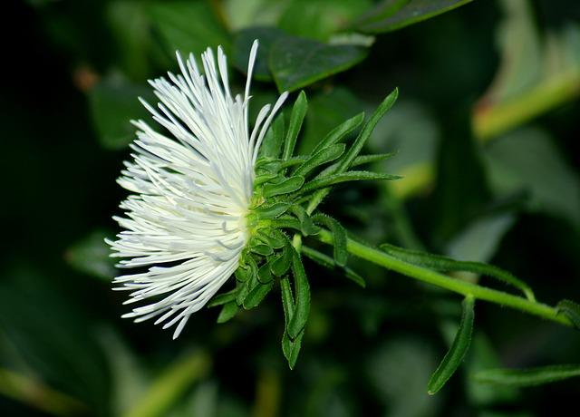 Aster, Astra, White Flowers, Garden, Figure, Nature