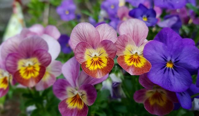 Flower, Plant, Garden, Nature, Floral, Violet, Flowers