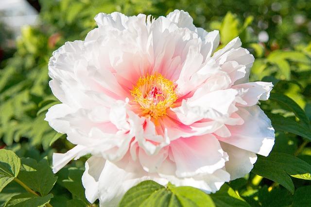 Peony, Summer, Spring, Flowers, Garden, Flower, Nature