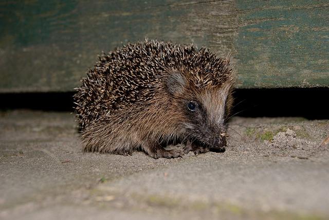 Hedgehog, Garden, Outdoor, Nature