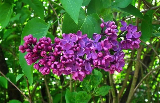 Nature, Plant, Flower, Lilac, Garden, Leaf, Violet