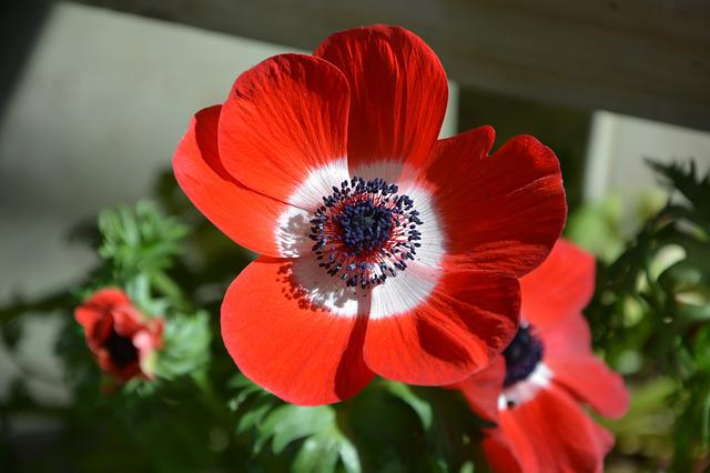 Flower, Poppy Flower, Plant, Garden, Nature, Red Color