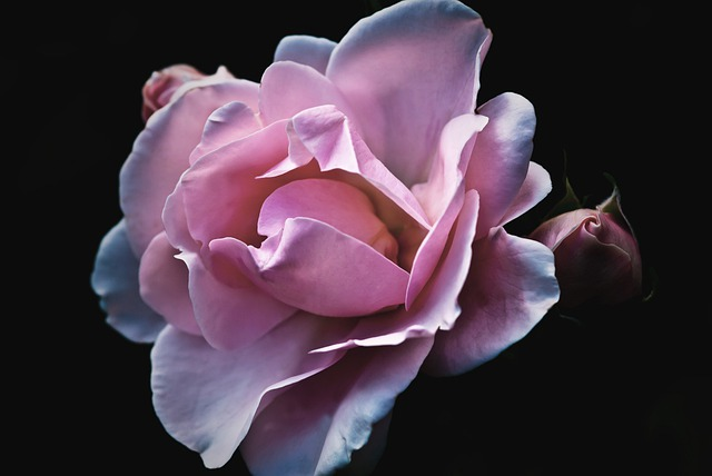 Roses, Flower, Nature, Garden, Blossom, Bloom