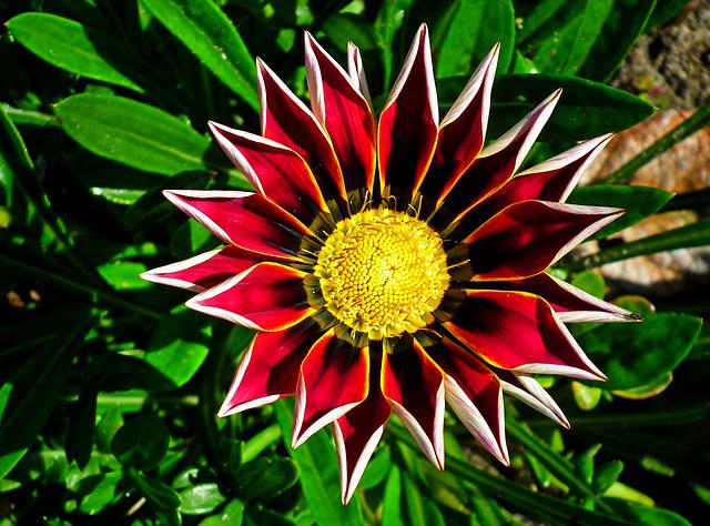 Gazania, Flower, Nature, Macro, Summer, Garden