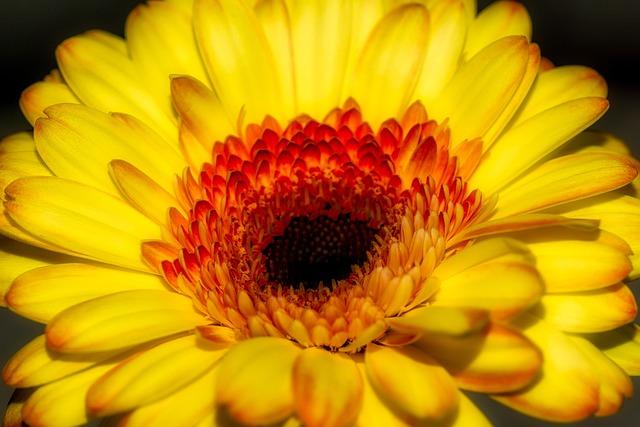 Gerbera, Flower, Blossom, Bloom, Yellow, Nature, Macro