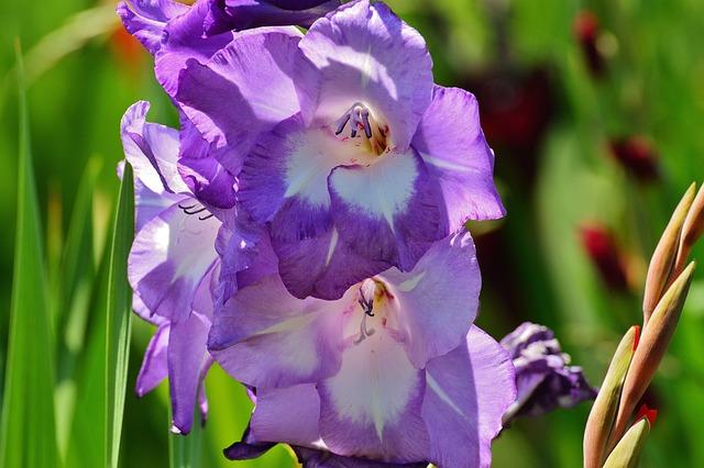 Gladiolus, Blue, Summer, Purple, Nature, Flowers, Grow