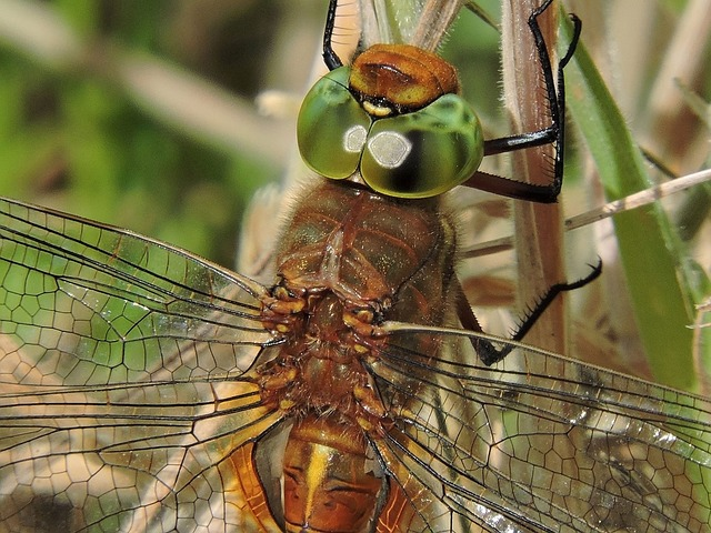 Dragonfly, Glazier, Nature, Friesland