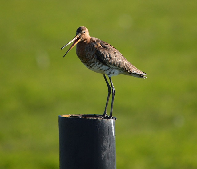Godwit, Bird, Spring, Nature, Animal, Holland, Fly