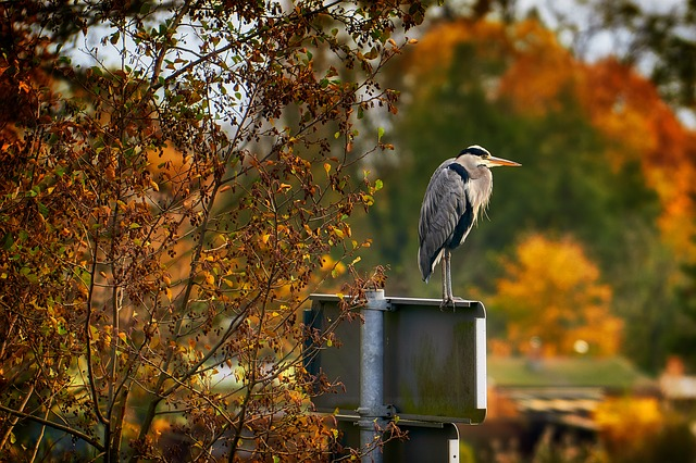 Autumn, Bird, Heron, Grey Heron, Nature, Golden Autumn