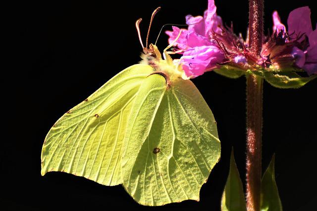 Gonepteryx Rhamni, Butterfly, Nature, Close Up, Insect