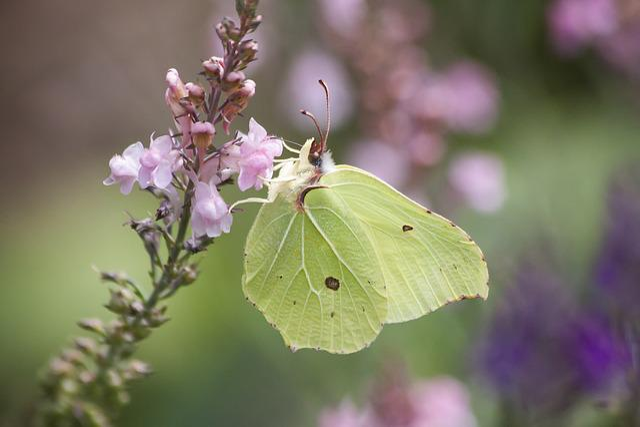Gonepteryx Rhamni, Butterfly, Nectar, Nature, Wing