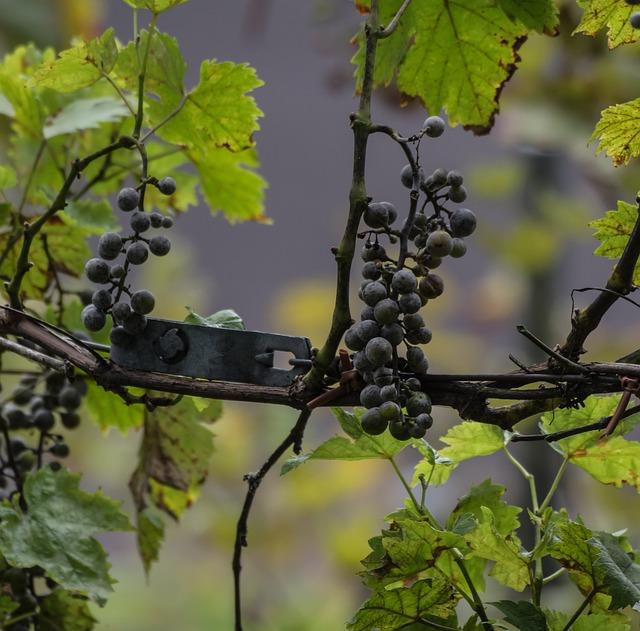 Fruit, Climber, Wine, Vineyard, Grape, Nature