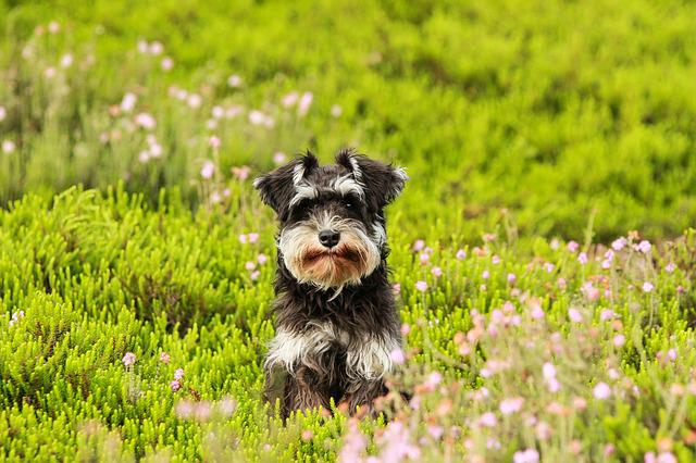 Dog, Heide, Grass, Schnauzer, Puppy, Green, Nature