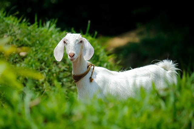 Nature, Grass, Animal, Outdoors, Goat, Domestic, Pet
