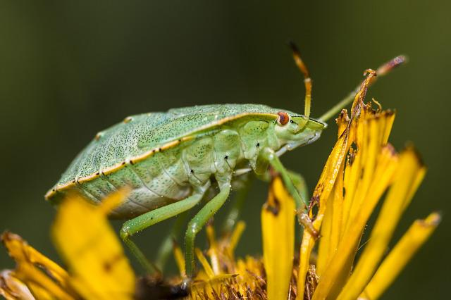 Bug, Green, Insect, Nature, Green Stinkwanze, Animal