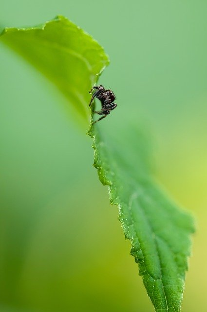 Jumping Spider, Spider, Insect, Nature, Plant, Green