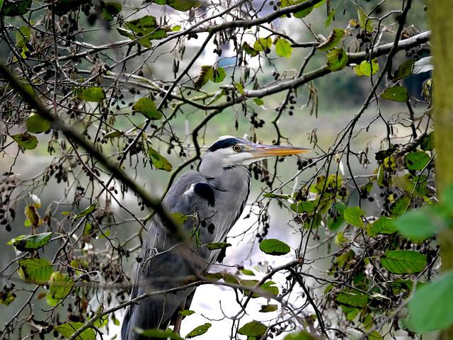 Grey Heron, Nature, Birds