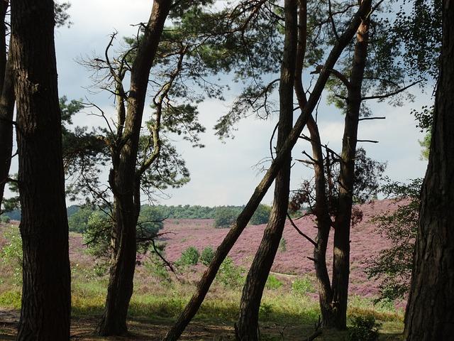 Hei, Flowering Heather, Purple, Nature, Trees, Field