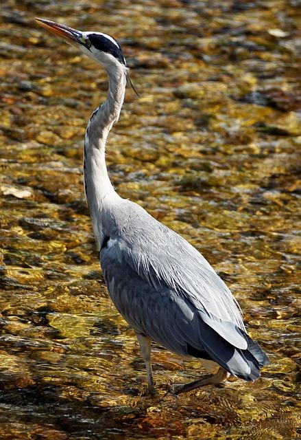 Heron, Bird, Nature, Animal, Eastern, Plumage