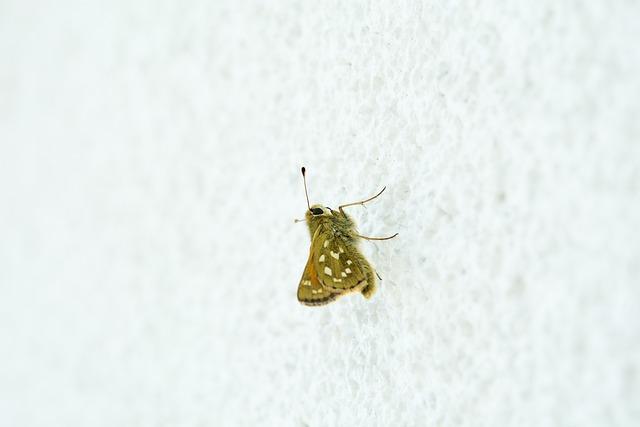 Butterfly, Hesperia Comma, Female, Skipper, Nature