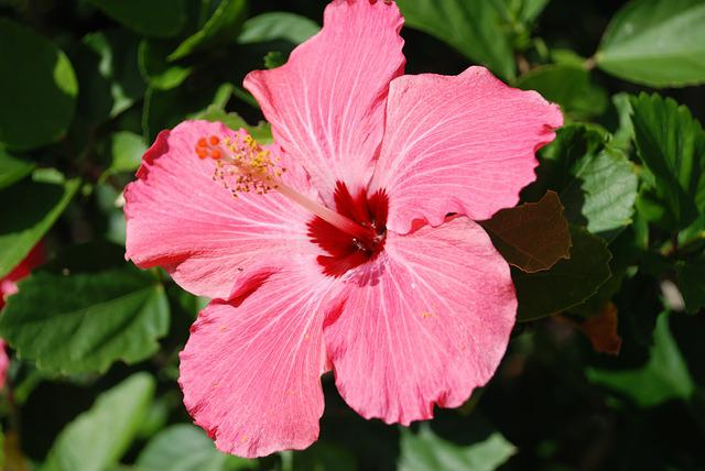 Nature, Pink Flower, Hibiscus