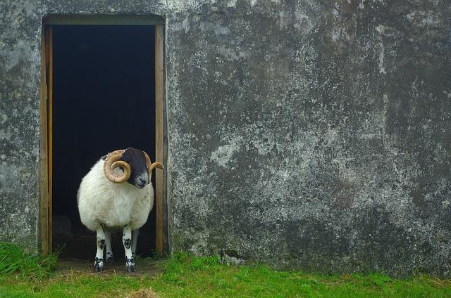 Sheep, Scotland, Wool, Nature, Highlands And Islands
