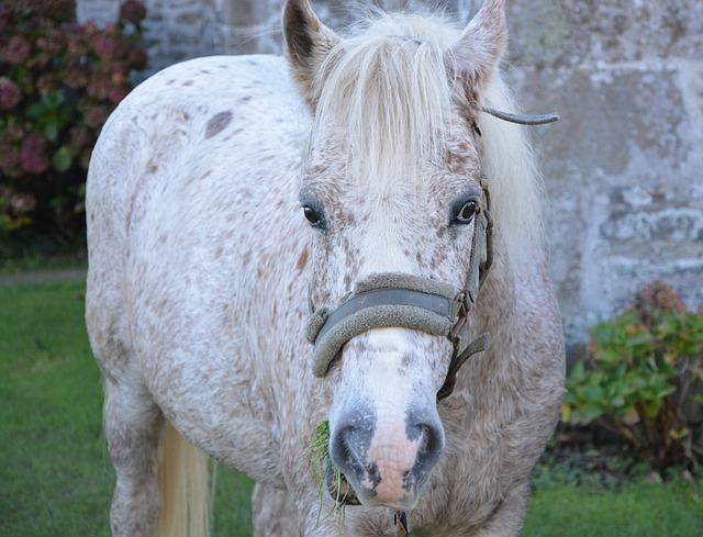Horse, Head Face, Horseback Riding, Nature, White Horse