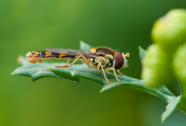Insect, Hoverfly, Summer, Nature, Macro