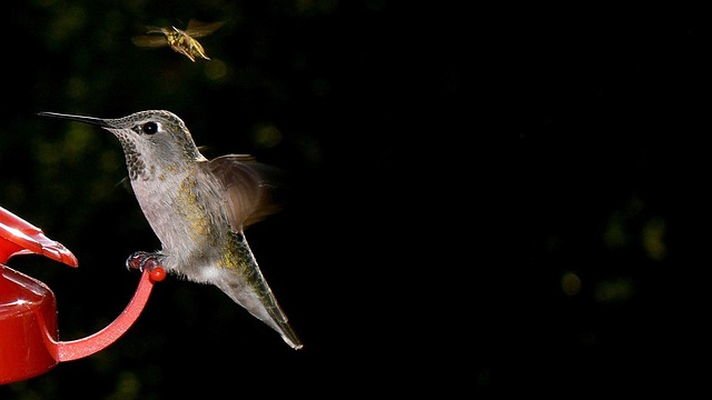 Bird, Bee, Hummingbird, Nature, Red, Feeder, Feeding