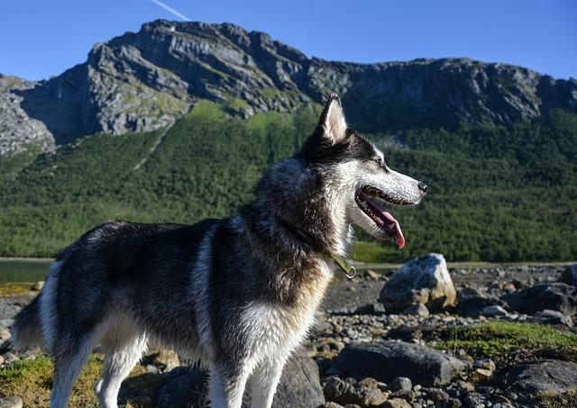 Husky, Siberian, Vacation, Outdoors, Nature, Dog