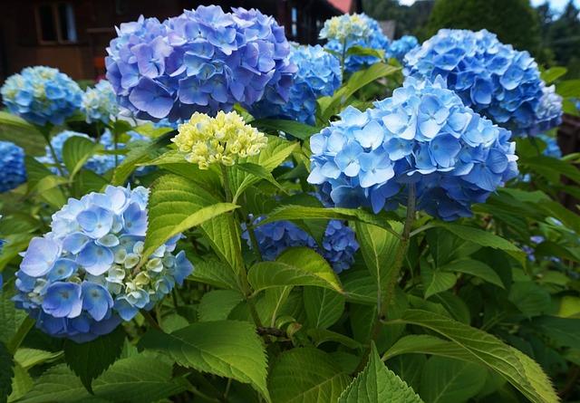 Hydrangea, Flower, Garden, Blossom, Plant, Nature
