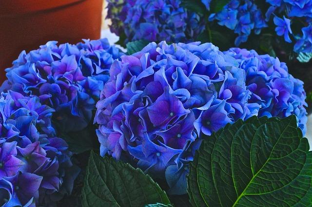 Nature, Plant, Flower, Garden, Color, Hydrangea, Violet