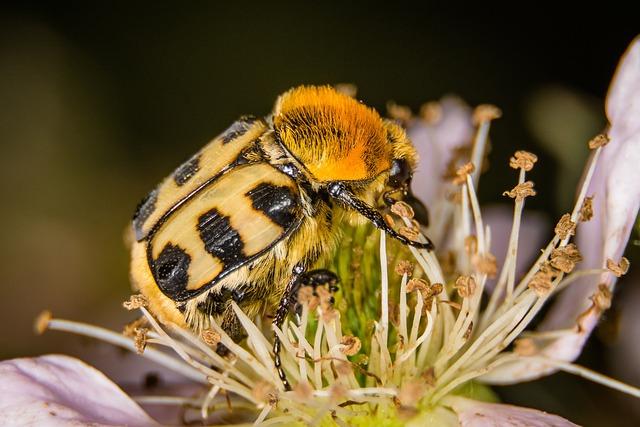 Beetle, Brush Beetle, Macro, Nature, Insect, Close