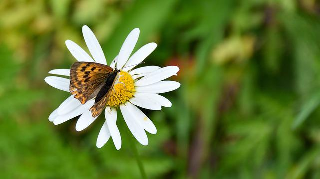 Butterfly, Marguerite, Close, Insect, Flower, Nature