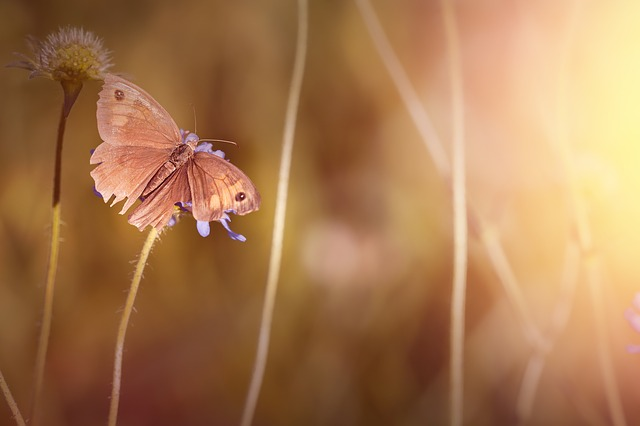 Butterfly, Meadow Brown, Insect, Nature, Close