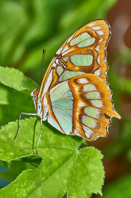 Butterfly, Macro, Nature, Insect, Leaf, Wing