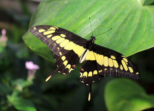 Dovetail, Butterfly, Insect, Nature, Wing, Leaf, Plant