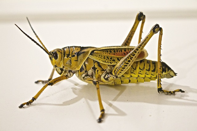 Locust, Jumping, Grasshopper, Animal, Insect, Nature