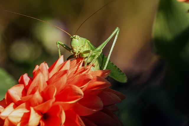 Grasshopper, Insect, Viridissima, Nature
