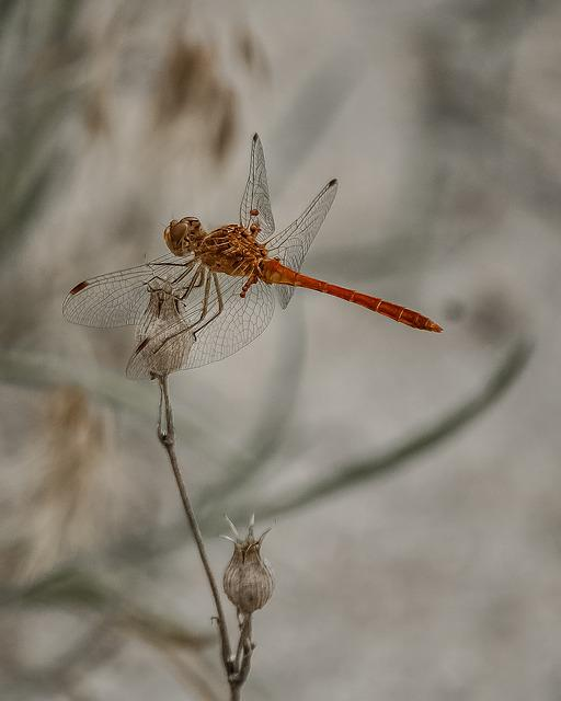 Dragonfly, Animal, Insect, Nature, Natural, Isolated