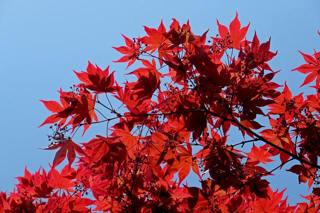 Maple, Japanese Maple, Red, Nature, Leaves, Spring