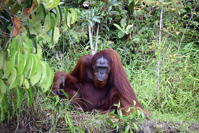Orang Utan, Kalimantan, Borneo, Indonesia, Nature