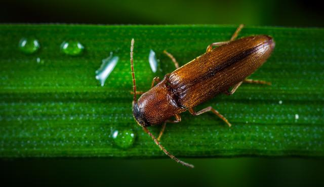 Insect, Nature, Krupnyj Plan, No One, The Click Beetle