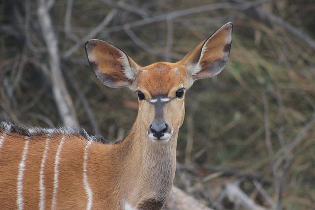 Buck, Nature, Kudu, Animal, Wildlife, Africa, Safari