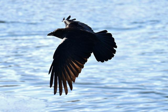 Raven, Fly, Lake, Raven Bird, Crow, Animal, Nature