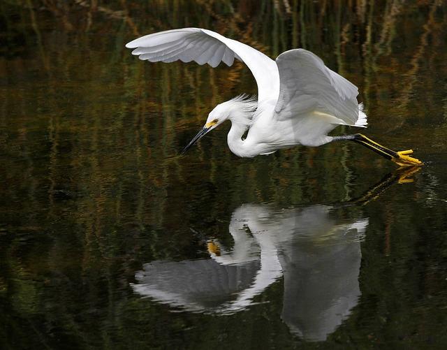 Animal, Avian, Bird, Egret, Flight, Heron, Lake, Nature