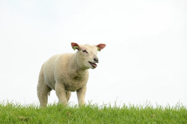 Nature, Farm, Animal, Mammal, Sheep, Lamb, Bellow