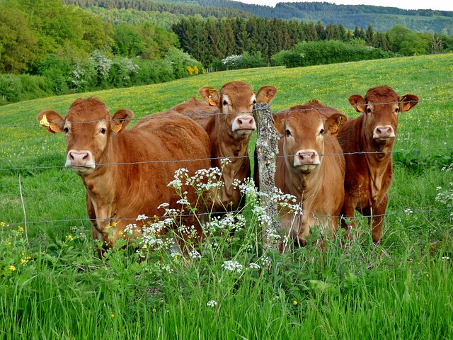 Cows, Pasture, Nature, Landscape, Flutes Herb, Green