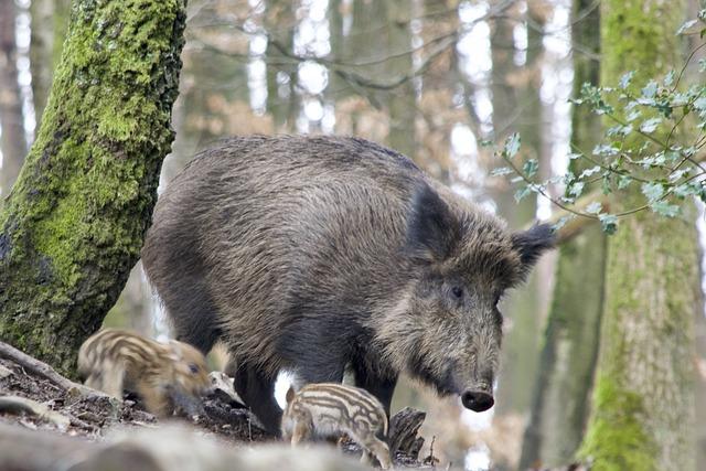 Boar, Bache, Launchy, Nature, Animal World, Mammal